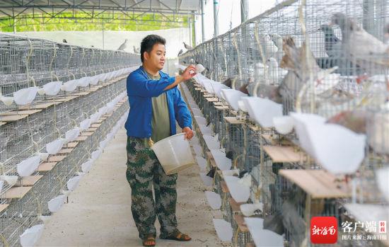 在临高县波莲镇的种鸽养殖基地,饲养员给种鸽喂食。波莲镇引进海南赢庄农业有限公司建设种鸽养殖基地,目前养殖种鸽超过1万对。方山 摄