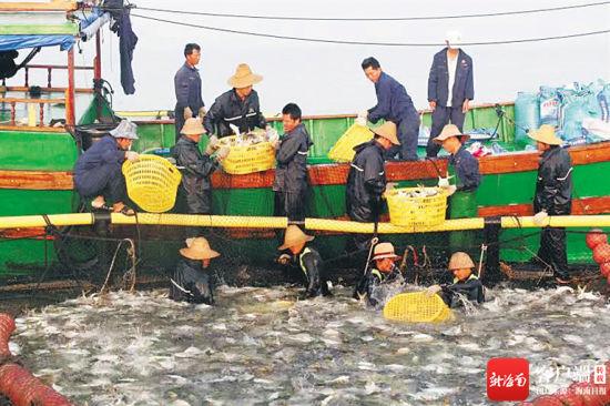 临高深海网箱养殖渔业喜获丰收。(临高县委宣传部供图)
