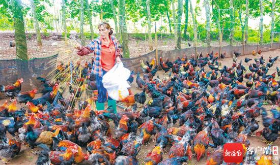 在临高县临城镇文新村,脱贫户王方妹正在喂鸡。近些年来,文新村通过发展养鸡、养猪、百香果种植和荷花田观光等产业,助力村民脱贫致富。 袁才 摄