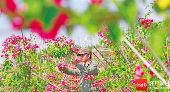 在临高县花卉产业旅游观光园,工作人员正在培育花苗。袁才 摄