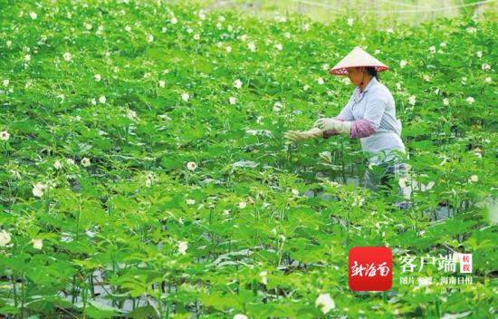 近日,保亭黎族苗族自治县响水镇什月村村民在采摘黄秋葵。海南日报记者 武威 摄