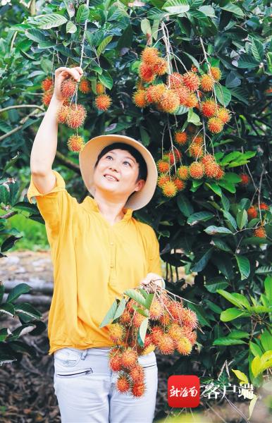 今年8月,保亭黎族苗族自治县举办乡村旅游红毛丹采摘季活动,图为游客在采摘红毛丹。 海南日报记者 武威 摄