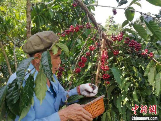农户采摘咖啡豆。 成宗培供图