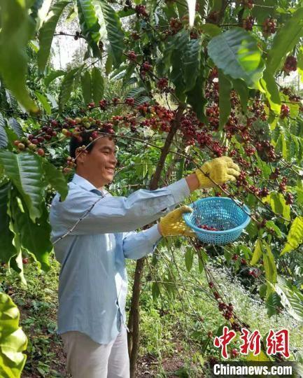 白沙咖啡豆采摘中。 成宗培供图
