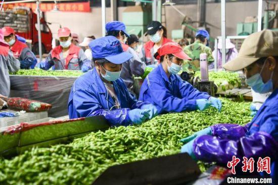 图为工人在毛豆加工厂忙碌。凌楠 摄