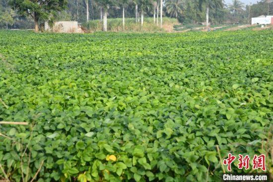 在昌江石碌镇山竹沟村,数百亩毛豆正迎来采摘季。凌楠 摄