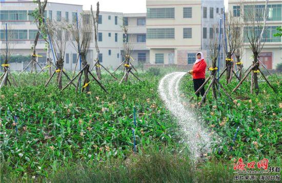 海口江东新区迈雅河区域生态修复项目内,工人在给绿植浇水。康登淋 摄