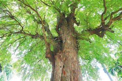 乐东的酸豆树。 林东 摄