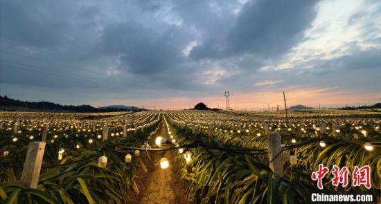 图为位于海南省乐东黎族自治县九所镇的海南高明农业发展有限公司火龙果种植基地。 尹海明 摄