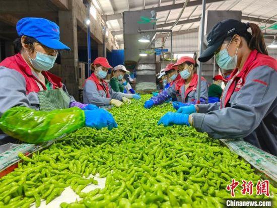 图为工人们在位于海南省昌江黎族自治县的海南欧兰德现代农业开发有限公司毛豆加工厂工作。 尹海明 摄