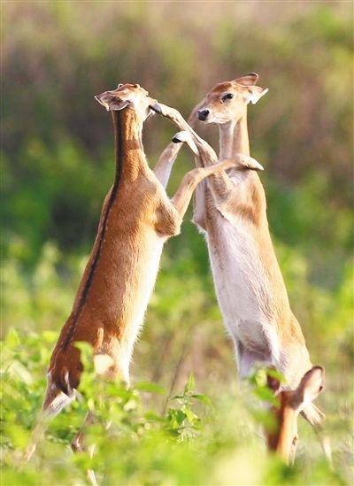 两只坡鹿在嬉戏。海南日报记者 苏晓杰 摄