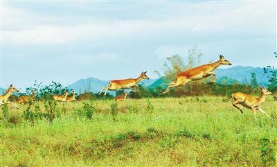 跳跃的海南坡鹿。(资料图片)