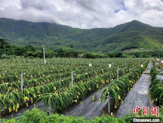 三亚的一处火龙果种植园。 记者王晓斌 摄