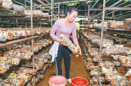 2020年12月9日,在琼中恒辉农民种养专业合作社内,种植户在采收香菇。本报记者 李天平 摄