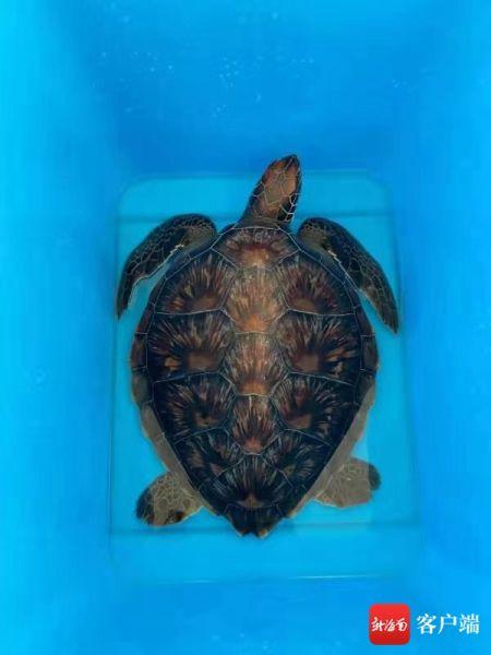 查获的海龟。