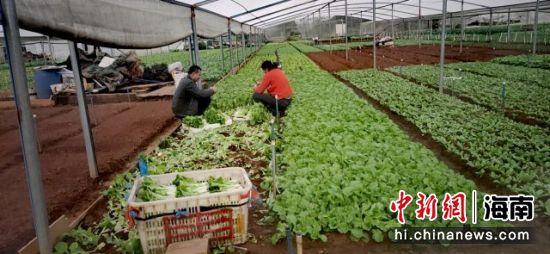 图为海口龙华区的蔬菜种植基地。刘伟 供图