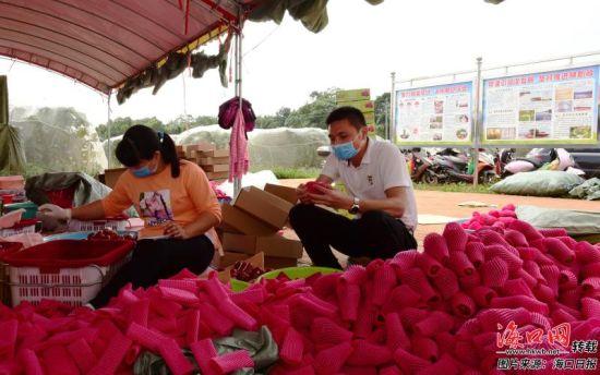 王琼(右)在莲雾基地旁的厂房查看莲雾打包情况。 记者 曹马志 通讯员 王聘钊 摄
