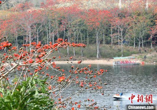 图为海南省昌江黎族自治县七叉镇尼下村昌化江畔盛开的木棉花。 尹海明 摄