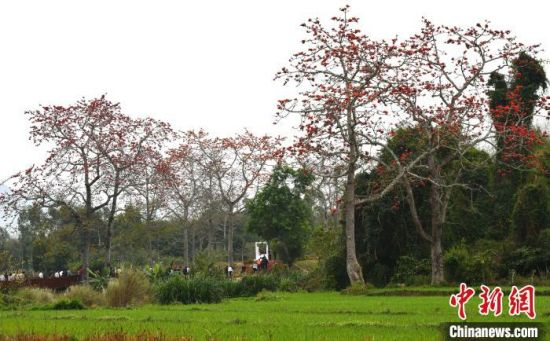 图为海南省昌江黎族自治县叉河镇排岸村绽放的木棉花。 尹海明 摄
