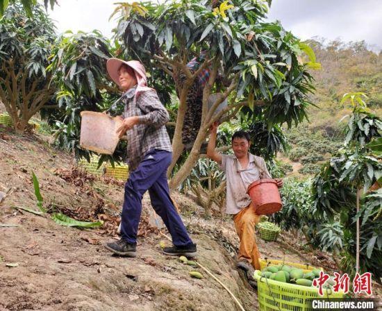工人在芒果园采收芒果。 记者王晓斌 摄