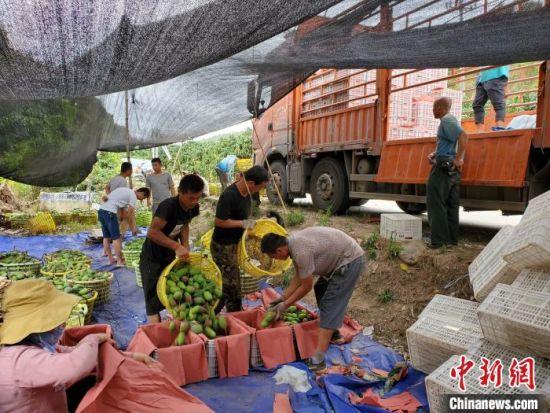 芒果采收后直接装车运走。 记者王晓斌 摄