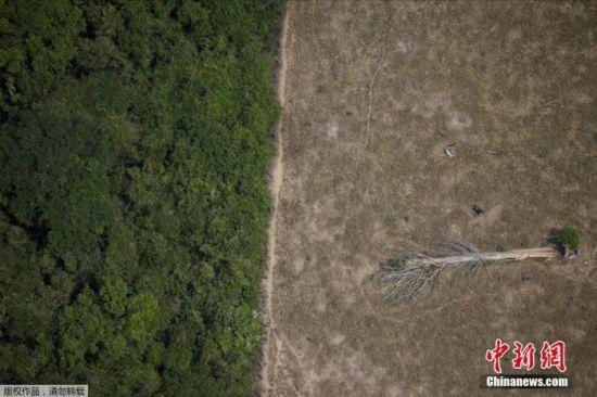 资料图:巴西朗多尼亚州的亚马孙热带雨林中,一颗树木躺在被砍伐后的空地上。Ueslei Marcelin
