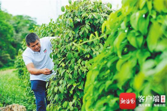 在位于海口市大坡镇的海南农垦胡椒种植基地中,海垦热作产业集团员工查看胡椒生产情况。海南日报记者 封烁 摄