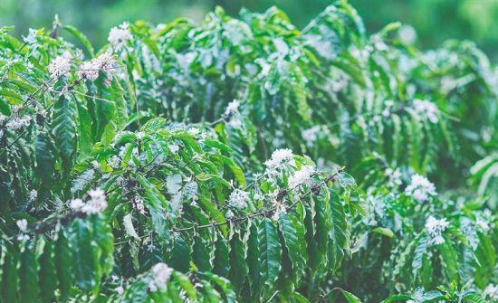 """海垦热作咖啡种植基地内种植的""""大丰1号""""咖啡树。袁琛 摄"""