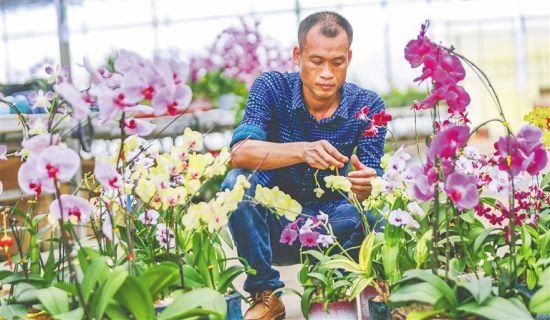 在位于昌江乌烈镇的海南和丰世纪农业开发有限公司花卉基地,工作人员正在管护花卉。 陈元才 摄