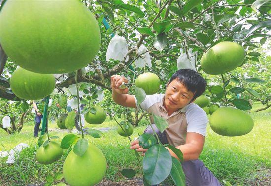 在澄�~山口蜜柚基地,工作人�T�o理枝�^上的柚子。 �元才 �z