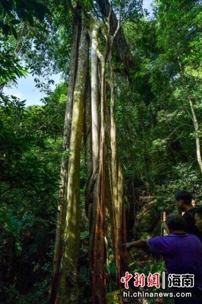 """在尖峰岭自然保护区热带雨林中拍摄的""""独木成林""""现象。骆云飞摄"""