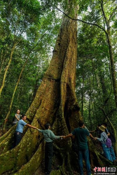 2021年9月4日,海南尖峰岭自然保护区热带雨林中一棵千年盘壳栎,需十余人才能围抱。骆云飞摄