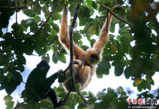 海南黑冠长臂猿。海南省宣传部供图