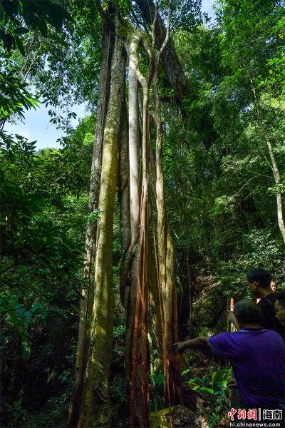 """2021年9月4日,在尖峰岭自然保护区热带雨林中拍摄的""""独木成林""""现象。骆云飞摄"""