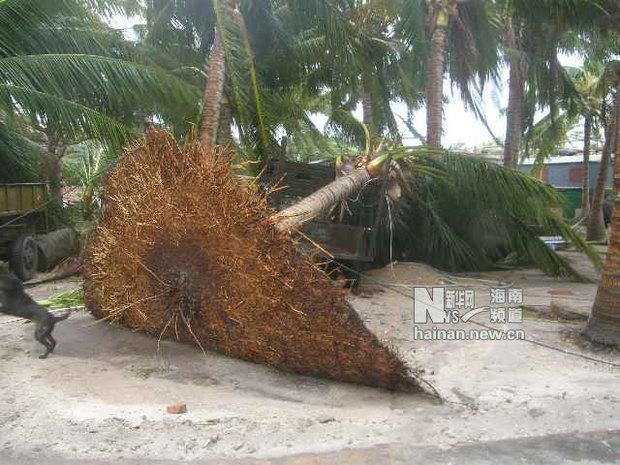 椰子树被连根拔起