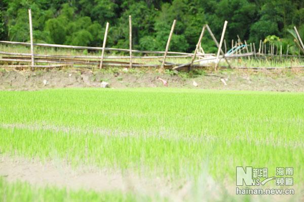 毛感乡的稻田中,禾苗初露,毛茸茸绿油油的,清新可人.新华网海南