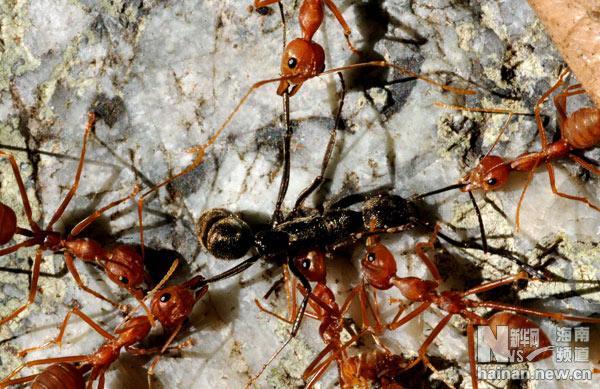 海南野生动物探奇:黄猄蚁的故事(6)