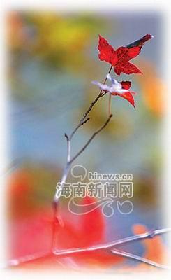 香枫红透五指山 为海南岛冬天带来别样的韵味