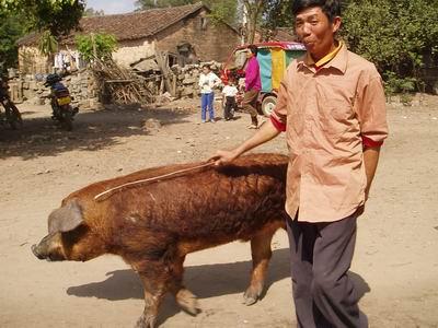海南农村春节见闻: 出租 美国公猪也成富翁