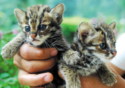 而是国家二级保护动物豹猫