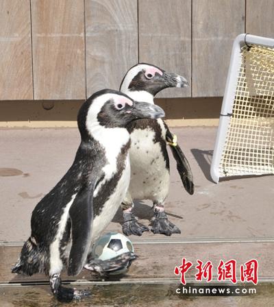 """企鹅水族馆里""""踢足球"""""""