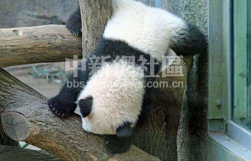 超级可爱的熊猫宝宝(2)