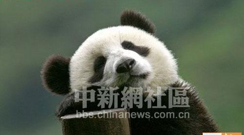 超级可爱的熊猫宝宝(5)