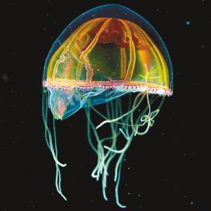 水螅水母,半圆形透明的身体