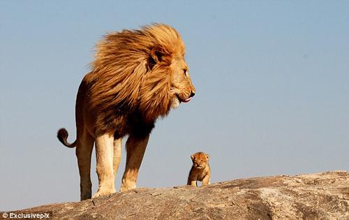 《狮子王》讲述的是非洲大草原的动物王国