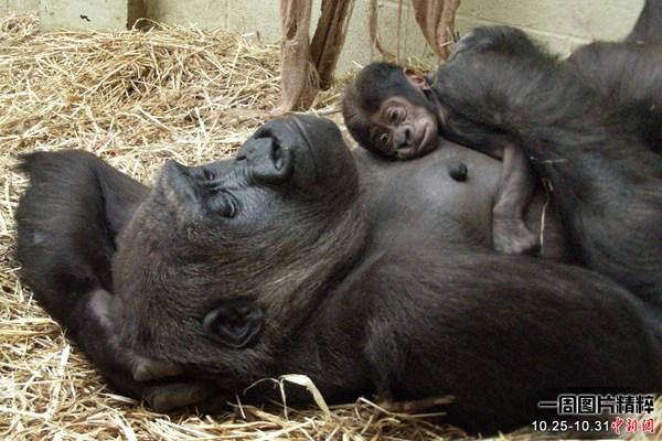 低地大猩猩mjukuu和她的新生宝宝在伦敦动物园内休息