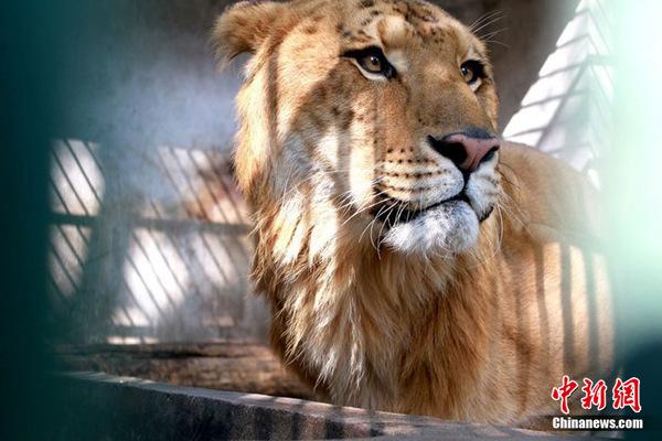 10月27日(周三),江西九江甘棠公园动物园工作人员正隔着铁栏杆在给