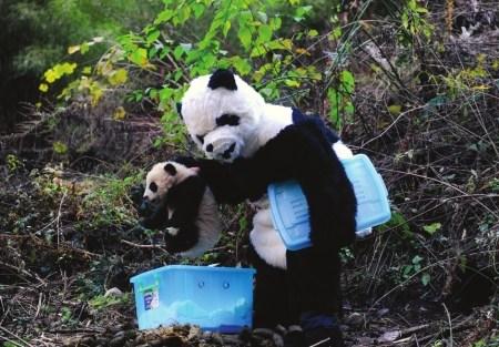 壁纸 大熊猫 动物 450_313
