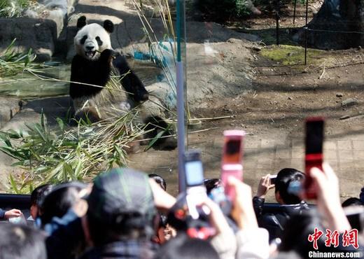东京动物园大熊猫亮相 三千人排队争相看