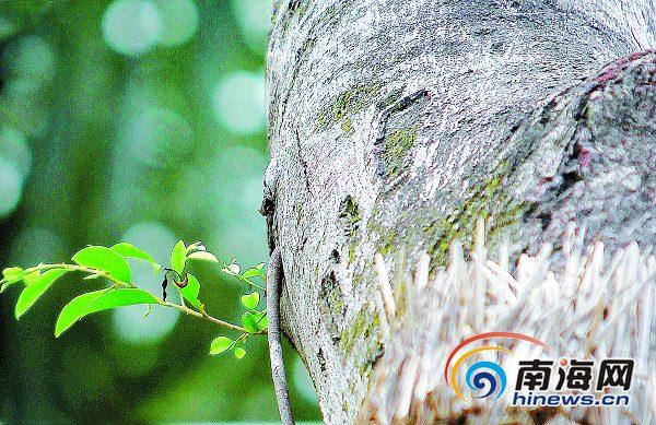 海南侨中隧道工程移植古树抽新枝